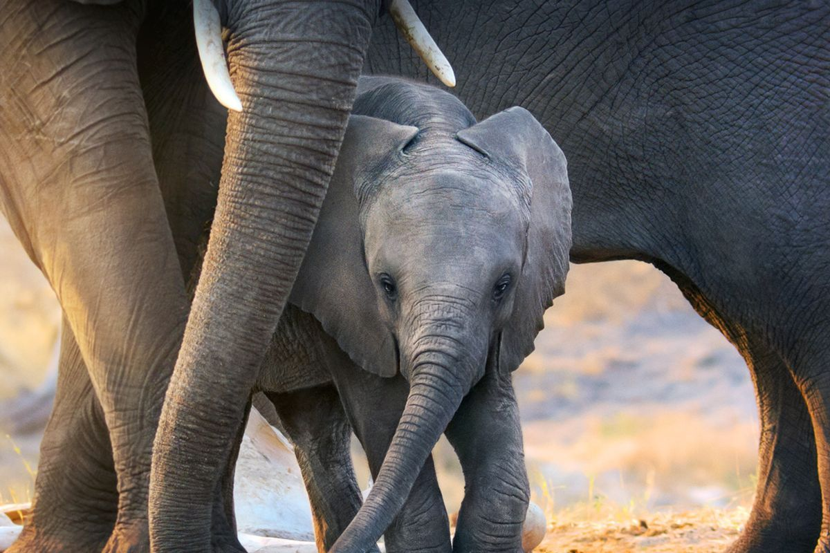'Elephant' Walt Disney Studios